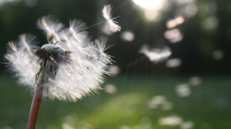 In Defence of the Dandelions